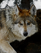 Wolves Photos - Caution by Ernie Echols