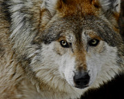 Grey Wolves Framed Prints - Caution upclose Framed Print by Ernie Echols
