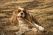 Brown Color Photos - Cavalier King Charles Spaniel by Georgia Fowler