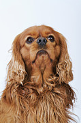Toy Animals Prints - Cavalier King Charles Spaniel Looking Up, Studio Shot Print by Martin Harvey