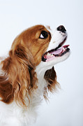 Toy Dog Posters - Cavalier King Charles Spaniel, Side View, Studio Shot, Close-up Poster by Martin Harvey