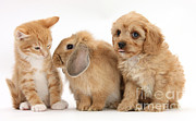 Domesticated Animals Prints - Cavapoo Pup, Rabbit And Ginger Kitten Print by Mark Taylor