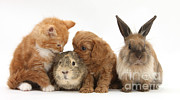 Domesticated Animals Posters - Cavapoo Pup, Rabbit, Guinea Pig Poster by Mark Taylor