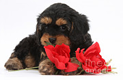 Cross Breed Prints - Cavapoo Pup With Roses Print by Mark Taylor