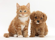 Cross Breed Prints - Cavapoo Puppy And Kitten Print by Mark Taylor
