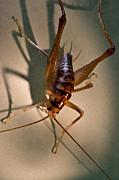 Cave Cricket In Shadow 2 Print by Douglas Barnett