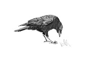 Black Bird Drawings Prints - Caw of the Wild Print by Barb Kirpluk