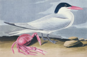 Beach Bird Paintings - Cayenne Tern by John James Audubon