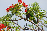 Cayman Islands Prints - Cayman Brac Parrotts Birds Photo Flowers Print by Monte Lee Thornton