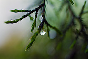 West Virginia Prints - Cedar and raindrops Print by Road  Mosey
