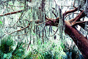 Epiphyte Prints - Cedar draped in Spanish Moss Print by Thomas R Fletcher