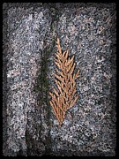 Tree Leaf Digital Art Posters - Cedar On Granite Poster by Tim Allen