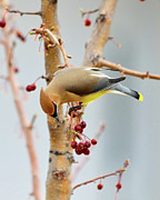 Cedar Waxwing Framed Prints - Cedar Waxwing 2 Framed Print by Betty LaRue