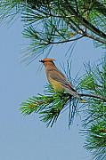 Cedar Waxwing Photos - Cedar Waxwing by Alan Lenk