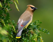 Spokane Framed Prints - Cedar Waxwing Framed Print by Ben Upham