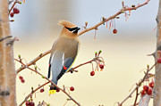 Cedar Waxwing Framed Prints - Cedar Waxwing Framed Print by Betty LaRue