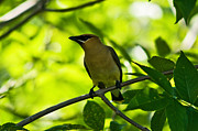 Cedar Waxwing Framed Prints - Cedar Waxwing Bird  Framed Print by Terry Elniski