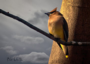 Moody Metal Prints - Cedar Waxwing Metal Print by Bob Orsillo