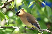 Cedar Waxwing Framed Prints - Cedar Waxwing Curiosity Framed Print by Cathy  Beharriell