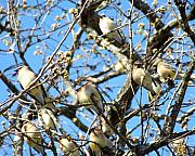 Cedar Waxwing Photos - Cedar Waxwing Family by Jai Johnson