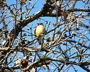 Cedar Waxwing Photos - Cedar Waxwing I by Jai Johnson