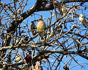 Cedar Waxwing Photos - Cedar Waxwing II by Jai Johnson