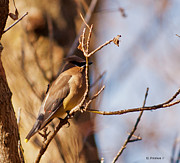 Omaha Ne Photos - Cedar Waxwing In Autumn by Edward Peterson