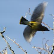 Cedar Waxwing Photos - Cedar Waxwing in Flight by Lauri Novak