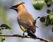 Cedar Photo Posters - Cedar Waxwing Poster by Lauri Novak