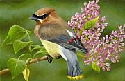 Cedar Waxwing Framed Prints - Cedar Waxwing on Lilac Framed Print by Karen Coombes