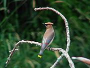 Cedar Waxwing Framed Prints - Cedar Waxwing on the Swing Framed Print by Thomas Young