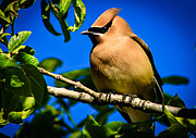 Black Top Framed Prints - Cedar Waxwing Framed Print by Robert Bales