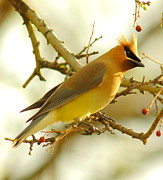 Wax Prints - Cedar Waxwing Print by Robert Frederick