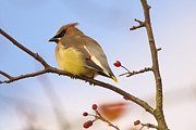 Cedar Waxwing Photos - Cedar Waxwing  by Sharon  Talson