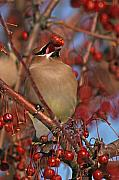 Cedar Waxwing Framed Prints - Cedar Waxwing With A Beaked Cherry Framed Print by Max Allen