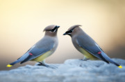 Cedar Photo Posters - Cedar Waxwings Poster by Bonnie Barry
