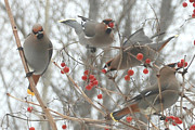 Johann Busch - Cedar Waxwings