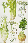 Vegetables Painting Prints - Celery - Fennel - Dill and Celeriac  Print by Elizabeth Rice