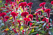 Food Photo Originals - Celosia Cristata by Atiketta Sangasaeng