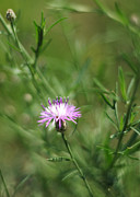 Invasive Prints - Centaurea Maculosa Spotted Knapweed Print by Rebecca Sherman