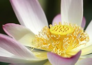 Center Of A Lotus Print by Sabrina L Ryan