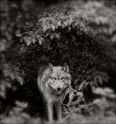 Dominate Wolf First Prints - Center Of The Forest Print by Debra     Vatalaro