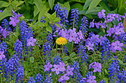 Grape Hyacinths Photos - Center Stage Blonde by Byron Varvarigos