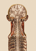 N.h. Prints - Central Nervous System Anatomy Print by Mehau Kulyk
