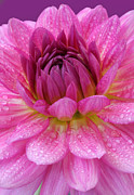 Colored Background Art - Centre Of A Pink Dahlia Flower, Close-up by Rosemary Calvert