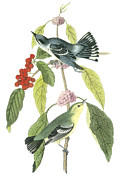 Warbler Paintings - Cerulean Warbler by John James Audubon
