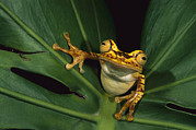 Tree Frog Prints - Chachi Tree Frog Hyla Picturata Print by Pete Oxford