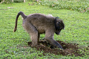 Figs Prints - Chacma Baboon Digging Print by Peter Chadwick