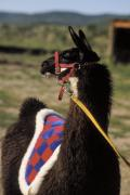 Llama Photo Posters - Chaco Poster by Jerry McElroy