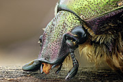 Longhorn Photos - Chafer Beetle by Iain Lawrie